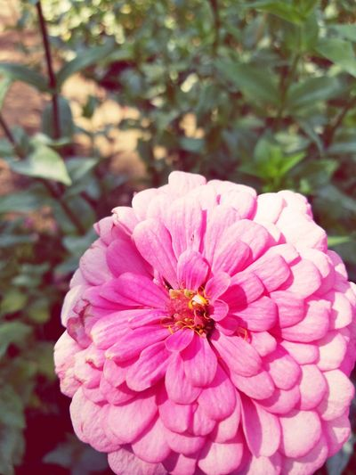 Pink Color Flower Nature Petal Beauty In Nature Focus On Foreground Close-up Flower Head Outdoors Day Freshness Fragility Plant Pollen No People Zinnia  First Eyeem Photo