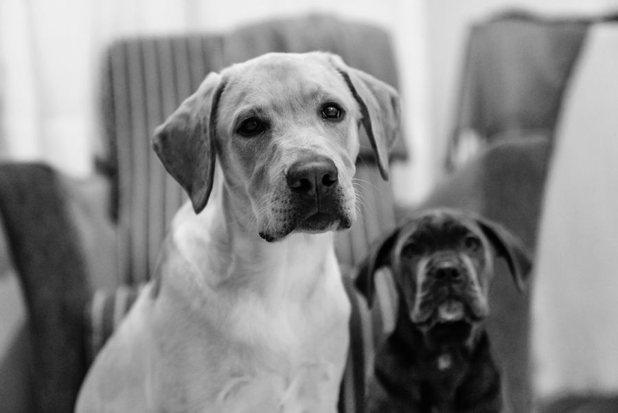 Labrador Animal Themes Cane Corso Close-up Day Dog Domestic Animals Focus On Foreground Indoors  Looking At Camera Mammal No People One Animal Pets Portrait Weimaraner