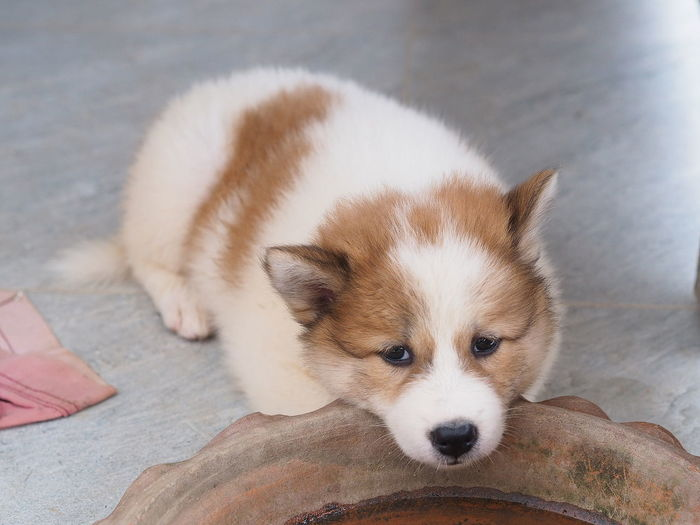High angle view of puppy resting on footpath
