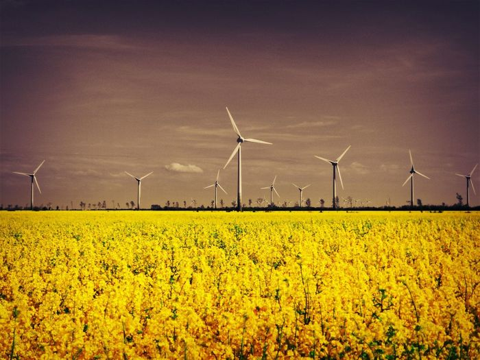 Baltic Sea Agriculture Alternative Energy Beauty In Nature Environment Environmental Conservation Field Flower Flower Head Fuel And Power Generation Germany Land Landscape Nature No People Outdoors Plant Renewable Energy Rural Scene Scenics - Nature Sky Sustainable Resources Turbine Wind Power Wind Turbine Yellow