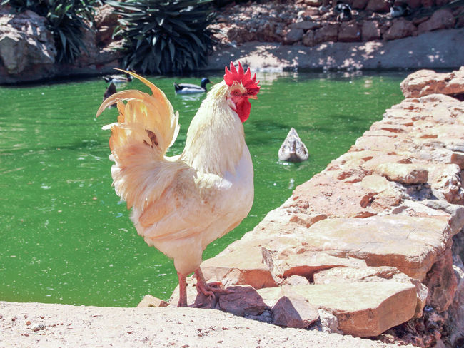 White rooster walks in the sun on the shore of the pond Agriculture Animal Themes Backgrounds Beauty In Nature Bird Chicken - Bird Cockerel Day Eggs Farm HEAD Livestock Nature Non-urban Outdoors Pets Pond Red Rooster Shore Sun Sunlight Walks White Wildlife