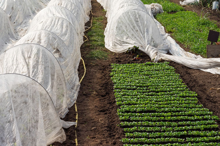 farming: lamb's lettuce Agriculture Close-up Cultivation Farming Growing Lamb's Lettuce Organic Salad Vegetables