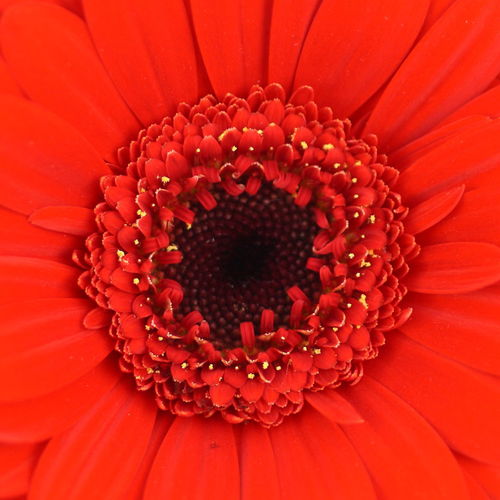 Gerbera up close and personal Beauty In Nature Blooming Blossom Botany Close-up Design Elégance Flower Flower Head Fragility Freshness Gerbera Gerbera Daisy Gerberas Growth In Bloom Macro Nature Petal Pink Color Pollen Red Flower Red Flowers Red Gerbera Softness