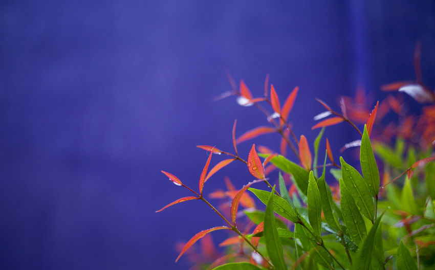 Beauty In Nature Blue Close-up Colors Day Flower Fragility Freshness Green Leaf Nature Red