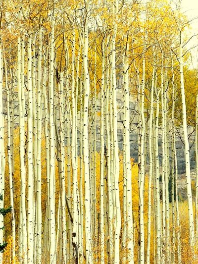 Aspen in Fall Rocky Mountains Splendour Silverton Travel Destinations Colorado San Juan Mountains San Juan County Espen Silberne Borke Silver Tree Bark Leaf Peeping Fall Yellow Leaves Aspen Trees Yellow Backgrounds Full Frame Pattern No People Close-up Abundance Day Communication Decoration Creativity Textured  Design Large Group Of Objects Nature Outdoors Plant