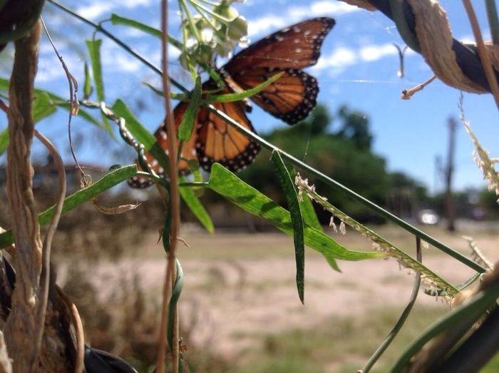 Mariposas Monarcas Photo