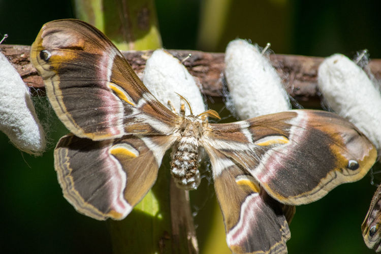 Cocoon Moths Animal Themes Animal Wildlife Animals In The Wild Beauty In Nature Butterflies Butterfly Butterfly - Insect Butterfly Collection Close-up Day Flower Head Focus On Foreground Fragility Insect Insect Photography Insects  Nature No People One Animal Outdoors Wings Wings Spread