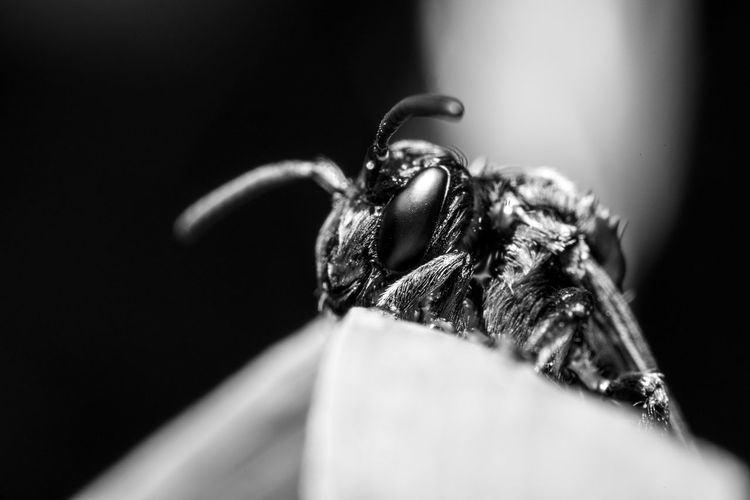 Invertebrate Animal Themes Insect One Animal Animal Close-up Selective Focus Animals In The Wild Animal Wildlife No People Zoology Nature Animal Body Part Day Animal Eye Animal Antenna Animal Head  Arthropod Animal Wing Bee Wildbee Wild Bee Solitary Bee Save The Bees Animal Portrait Blackandwhite Black And White Monochrome Macro Macro Insects