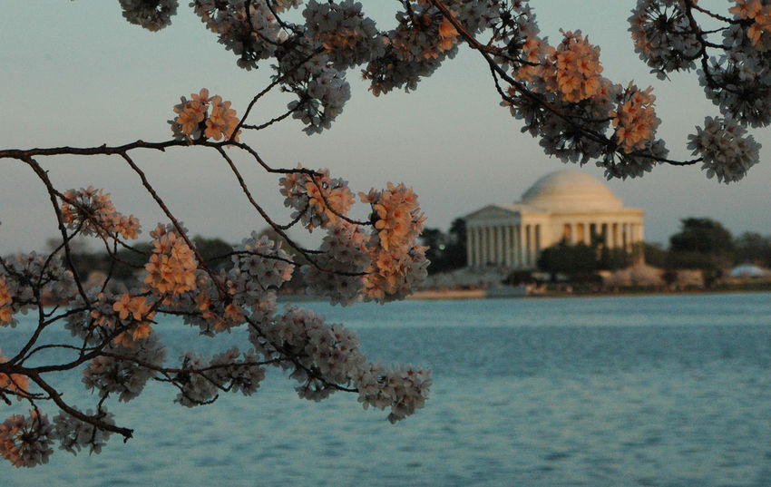 Cherry Blossoms DC Washington, D. C. Architecture Beauty In Nature Branch Building Exterior Built Structure Day Foreground Growth Jefferson Memorial Nature No People Outdoors Scenics Sea Sky Travel Destinations Tree Water Waterfront EyeEmNewHere