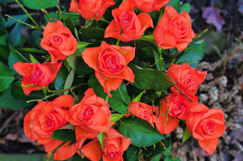 Beauty In Nature Blooming Flower Flower Head Fragility Freshness Nature Petal Plant Rose - Flower