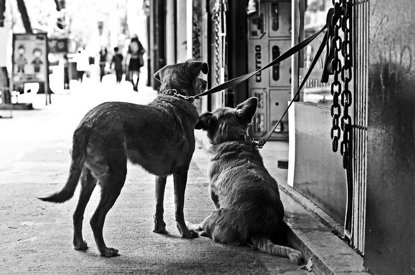 Black & White Buenos Aires Buenos Aires, Argentina  Dog Couple Dogs Travel Travel Photography Traveling Travelling Argentina Argentina Photography Black And White Blackandwhite Blackandwhite Photography Dog Dog On Leash Dog Waiting Street Photography Streetdog Streetphoto_bw Streetphotography Travelphotography