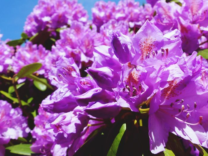 Flower Flowering Plant Purple Plant Freshness Beauty In Nature Close-up Growth Sunlight Blossom Pink Color Rhododendronblossoms Rhododendron Fragility Vulnerability  Inflorescence Nature Flower Head No People Petal Springtime Day EyeEm Nature Lover Rural Scene Garden