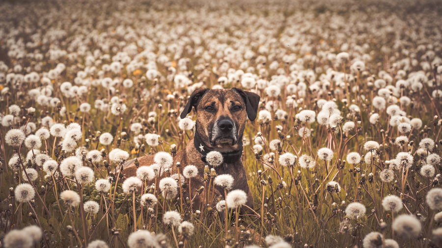 Animal Themes Beauty In Nature Day Dog Domestic Animals Field Flower Flower Head Freshness Grass Growth Looking At Camera Mammal Nature No People One Animal Outdoors Pets Plant Portrait Rural Scene