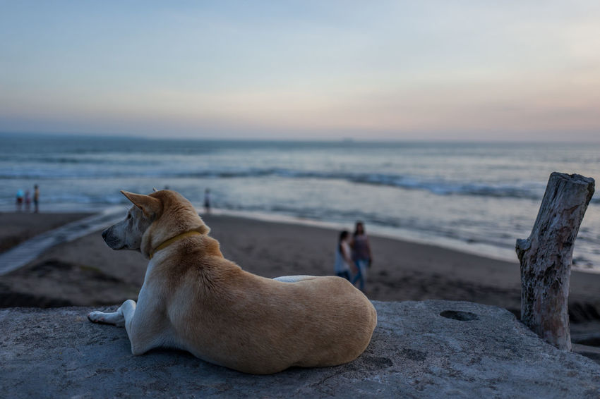 Dog in Canggu Animal Animal Themes Beach Canine Dog Domestic Domestic Animals Focus On Foreground Horizon Horizon Over Water Land Mammal One Animal Pets Relaxation Scenics - Nature Sea Sky Vertebrate Water