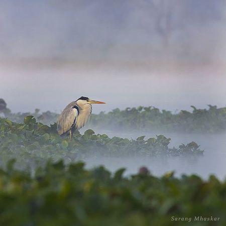 """'' Whispering Mist... """" Birdscape Birds Greyheron Wildlife Wildlifephotography India Birdslover Mist Natgeo Natgeohd Indiatravel Sanctuary  Canon Canon_official 1x5 Photooftheday Natgeotravelindia Wildlifeplanet"""