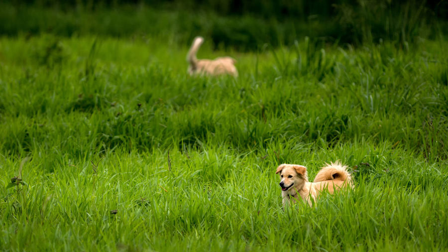 Animal Family Animal Themes Beauty In Nature Dog Field Fun Grass Grassy Mammal Plant Puppy Running Young Animal