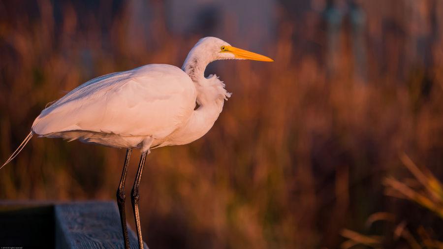 Animals In The Wild Beak Bird Birding Center Great Egret Nature Nature Photography No People One Animal Port Aransas Texas Texas Landscape Wetlands White Wildlife