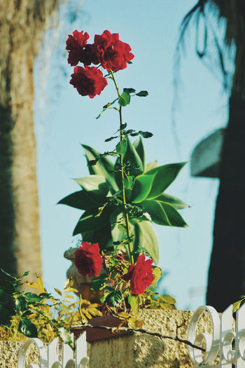 A red rose to