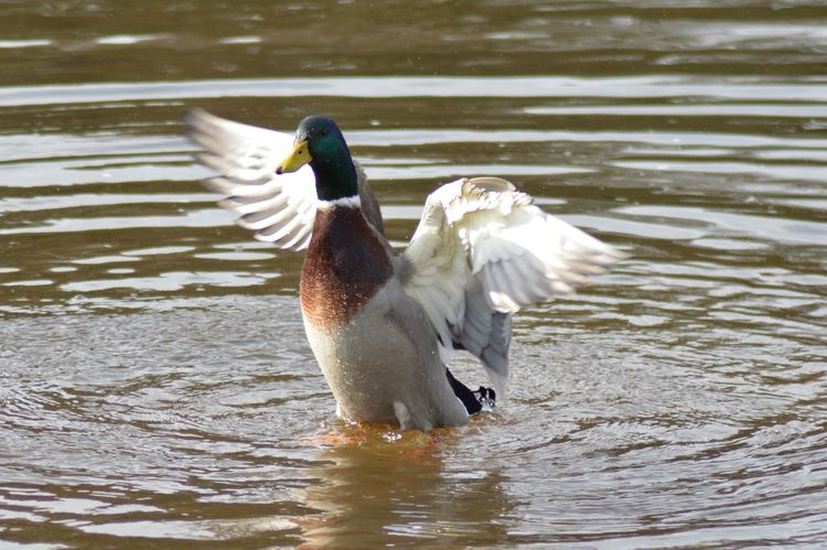 Animal Themes Animal Wildlife Animals In The Wild Beauty In Nature Best Shots EyeEm Bird Close-up Day Duck Feathers Flap Flapping Lake Mallard Motion Nature No People One Animal Outdoors Pond Spread Wings Water Waterfront Wings