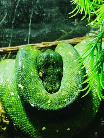 The Zoo Animal Themes Close-up Snake Green The Eyes Say It All Looking At Camera