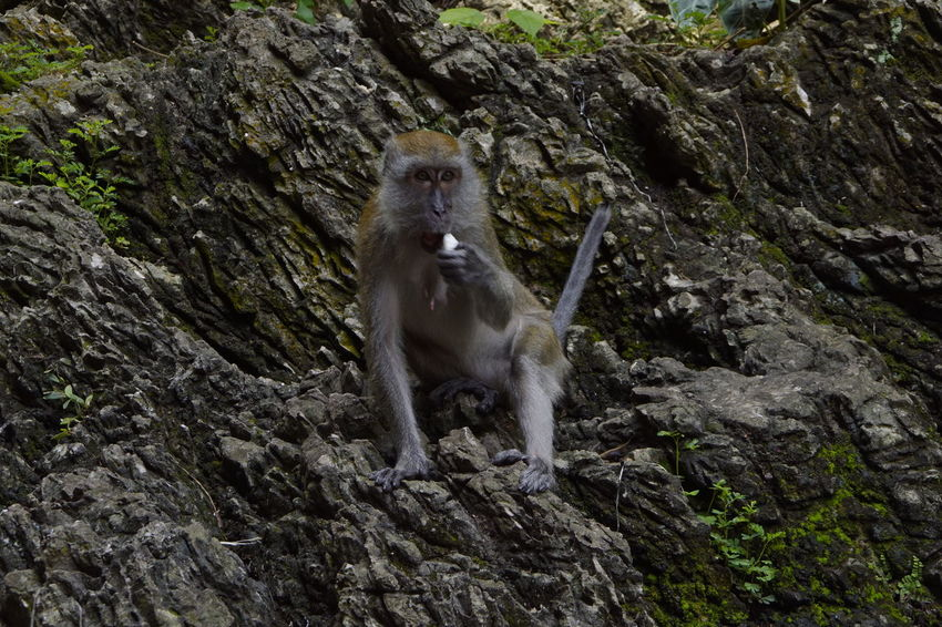 A monkey eating some coconut. Animal Themes Animals In The Wild One Animal Mammal Monkey Face Monkeybusiness  Monkey Eating Monkeys Rule Monkey Temple