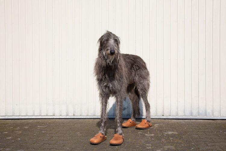 Portrait of scottish deerhound wearing shoes