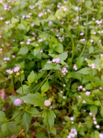 🌼🌸🌼 Flower Nature Beauty In Nature Fragility Freshness Growth Green Color No People Day Plant Outdoors Close-up Flower Head Focus Front View Blur Back View Little Purple Flowers 🌼 🌼 🌼 🌼 🌼 🌼