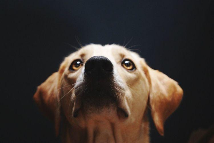 Ronda Labrador Retriever Labrador Dog