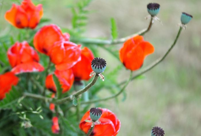 Nature Plant Plants Walk Detail Flower Flowers Forest Meadow Plantlove Poppy Seed Springtime Summer