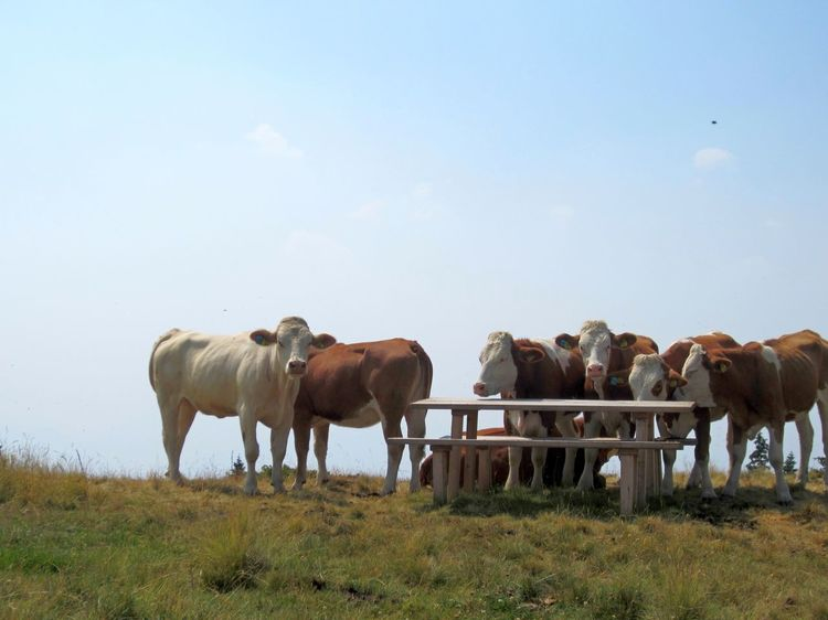 """""""Will anybody serve us some other meal than grass?"""" Alm Alps Animal Themes Cattle Cows Domestic Animals Field Grass Landscape Medium Group Of Animals Nature Rural Scene Sky"""