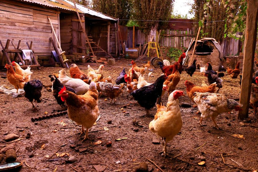 Pet Portrait Hen Outdoors Nature Day Rural Scene Cloydy Day Hens And ChickensLarge Group Of Animals Patio In Country House Without Closure Happy Sharing Various Colors Some Hens And Chikens Looking At The Camera Domestic Animals Eating Egg