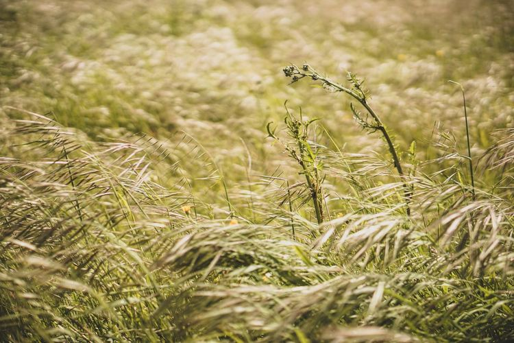 EyeEm Selects Wheat Cereal Plant Rural Scene Ear Of Wheat Agriculture Field Timothy Grass Crop  Sky Close-up