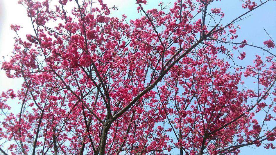 春に来る。恋も始まるはずだ。 春 桜花見 Spring Cherry Blossoms Love Prink
