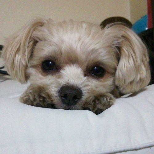 愛犬 ペット 犬 家族 寝起きかわいい耳デカ