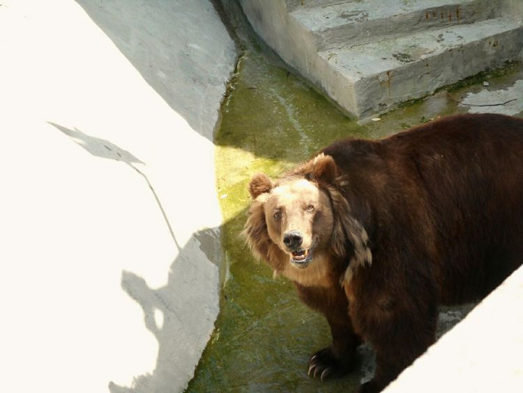 Bear Animal медведь московскийзоопарк Zoo Moscow, Москва Russian Nature Russia россия природароссии