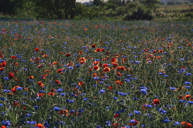 Scenic view of poppy flowers on field