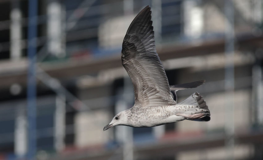 Animal Animal Themes Animal Wildlife Animal Wing Animals In The Wild Architecture Bird Building Exterior Built Structure Close-up Day Flying Focus On Foreground Mid-air Motion Nature No People One Animal Seagull Spread Wings Vertebrate
