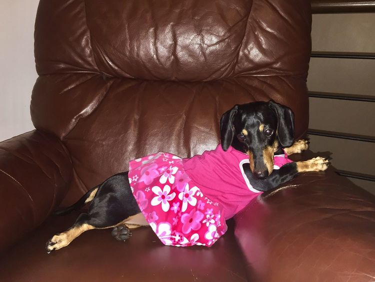 Strike a pose! Cute Dog  Cute Pets Cute Puppy❤ Puppy Love Puppy Pet Clothes Dachshund Minidachshund One Animal Domestic Pets Canine Dog No People High Angle View Animal Indoors  EyeEmNewHere