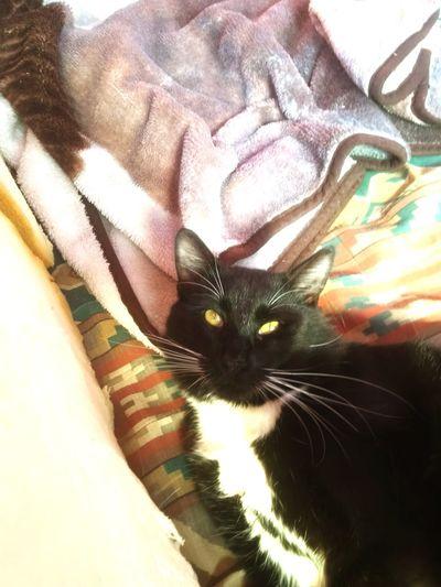 cat Pets Feline Domestic Cat Close-up Cat