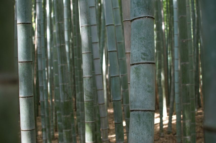 Bamboo in Kyoto show different shades of greenish blue and bluish green. Bamboo - Plant Bamboo Grove No People Growth Forest Tranquility Green Color Beauty In Nature Outdoors Close-up Sunlight Japan Travel Celadon Green Blue Blue Green