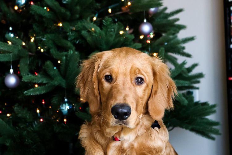 Close-up portrait of golden retriever against christmas tree