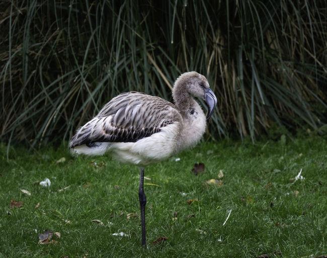 Bird Young Bird Nature Grass Animal One Animal Young Animal Flamingo