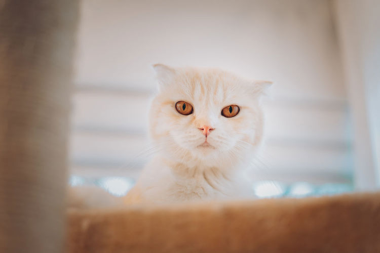 Cute kitten cat scottish fold playing looking camera on modern floor tower pet. Domestic Pets Domestic Cat Cat Mammal Domestic Animals One Animal Feline Portrait Indoors  Looking At Camera No People Vertebrate Whisker Selective Focus Close-up Home Interior Persian Cat