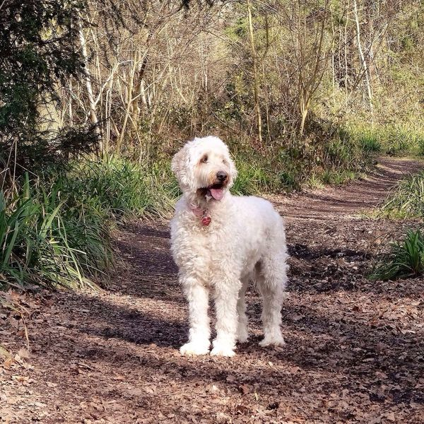 Dog Goldendoodle Pet Poser Woods Trees Leaves Green Brown White Countryside Walk