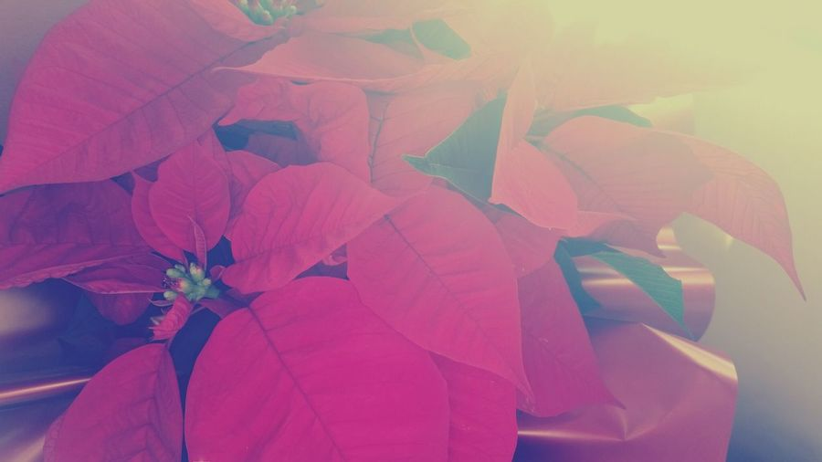Plant Pink Leaves