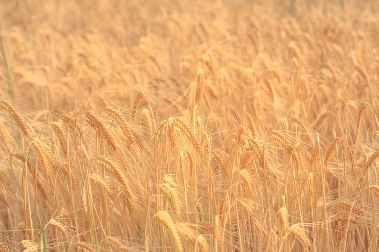 Wheat Crop In Field