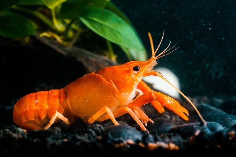 Closeup orange shrimp in dark background