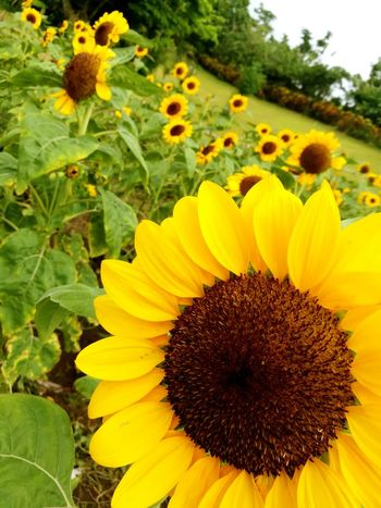 🌻🌻🌻 Flower Yellow Petal Flower Head Plant Nature Sunflower Beauty In Nature Growth Botany Field Freshness Blossom Outdoors Rural Scene No People Summer Elégance Eyeem Philippines EyeEm Gallery Huaweigr52017 Nature Philippines Phone Photography EyeEm Best Shots
