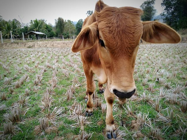 cow Cow Farm Farm Life Animal One Animal Domestic Animals Animal Themes Standing No People Mammal Livestock