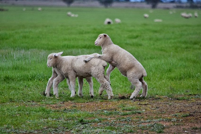 Lambs Lambs And Sheep Lambing Spring Wooly Sheep Lambs Playing And Relaxing Spring Has Arrived Young Animal On The Farm Ewe Spring Is In The Air Field Lamb Springtime Spring Time Animals Grass Farm Animals Legs Leaping Lambs Full Of Life Playtime Cute